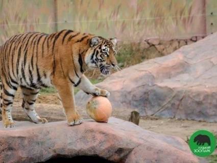 Свято гарбуза: лучан кличуть на показові годівлі до міського зоопарку