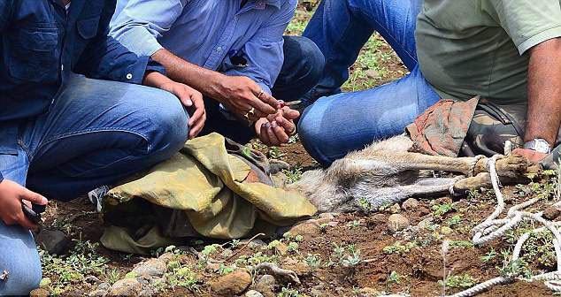 В Індії фотограф врятував від смерті в муках вовка, який потрапив у пастку