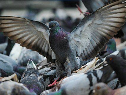 На вулицях Рівного купа трупів птахів, тушки знаходять навіть у фонтанах