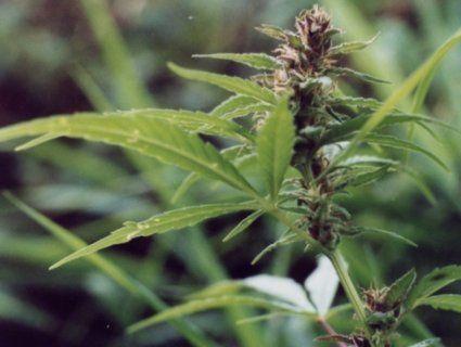В Україні знову зареєстрували петицію про легалізацію марихуани: вшістнадцяте