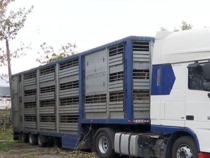 На Одещині два тижні морять голодом отару овець, замкнену у фурі в порту