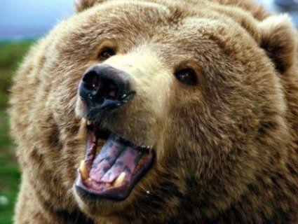 Ведмідь перетворив у консервну банку авто мисливців, поки ті вистежували кабана (відео)