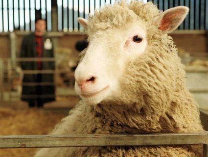 Вижили, щоб померти: овець з Чорноморська відправлять на утилізацію