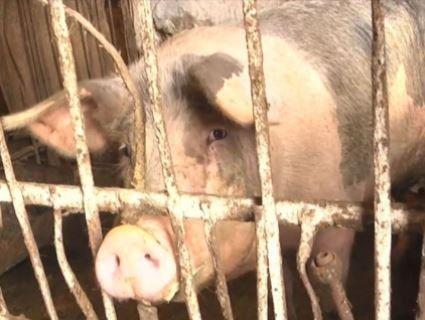 2000 свиней пішли під ніж на Буковині через африканську чуму