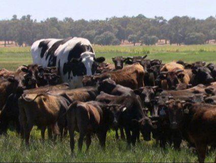 Австралійська корова-переросток вразила Мережу (фото)