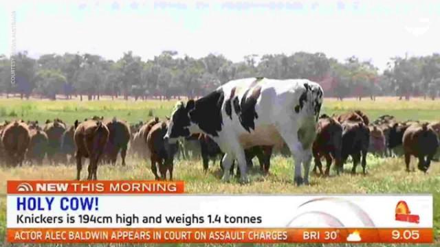 велетенська корова