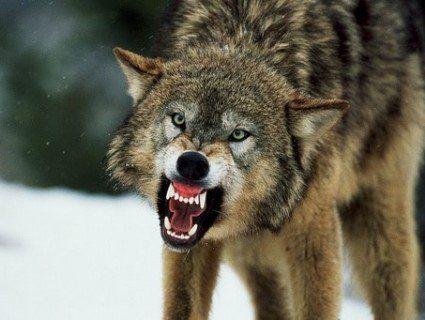 На Тернопільщині вовк порвав зубами двох чоловіків