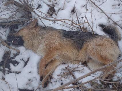 На Волині потруїли собак (фото, відео)