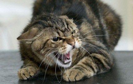 Покусав ноги й обличчя: на Рівненщині скажений кіт кинувся на господарів