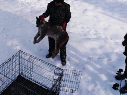 Знайдену в Житомирі рись передадуть із Рівного в інший зоопарк