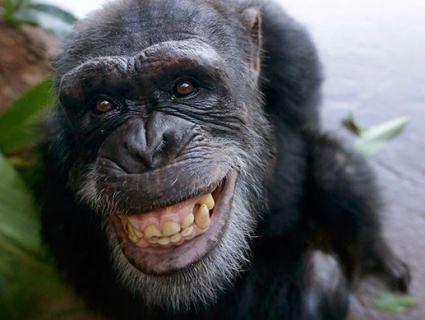 Еволюція: шимпанзе придумав «драбину» і дременув із зоопарку (відео)