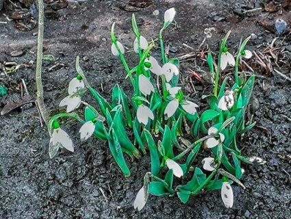 Подих весни: на Закарпатті розквітли підсніжники (фото)