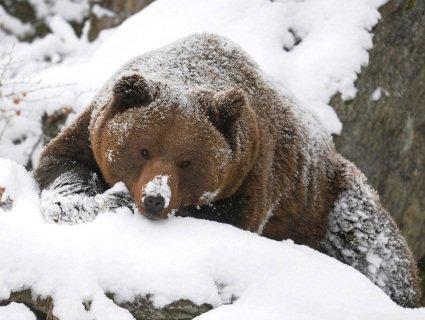На Закарпатті готують до операції ведмедя зі зламаною щелепою (відео)