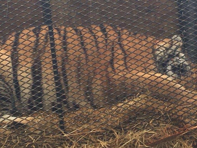 Чоловік покурив «траву» і побачив у хаті тигрицю – виявилося, не глюк (відео)