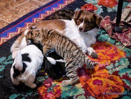 На Запоріжжі собака вигодовує тигреня (фото, відео)