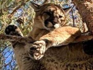 «Допоможи котику»: рятувальники знімали дику пуму, яка застрягла на дереві (фото)
