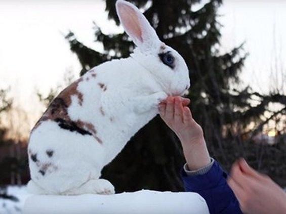 Кролик встановив рекорд і потрапив до книги Гіннеса (відео)
