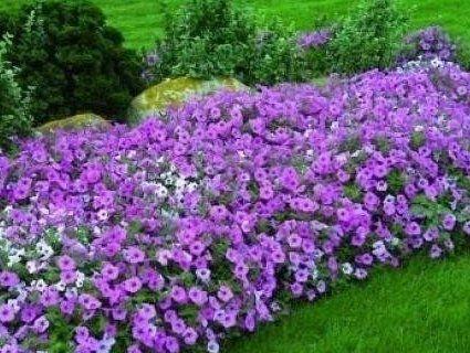 Мільйон за квіткове місто: у Луцьку шукають постачальника розсади