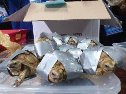 В аеропорту знайшли 1500 живих черепах у скотчі