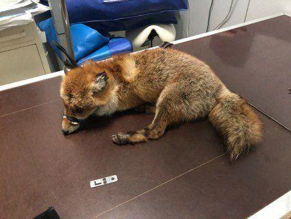 Одеські зоозахисники рятують лисицю, яка потрапила під машину (фото)