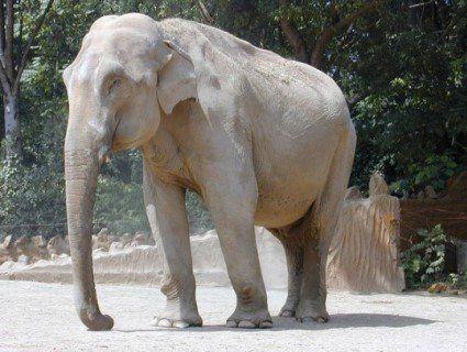 В Індії слон розчавив свого кривдника: жаскі кадри