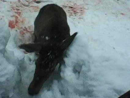 Браконьєри убили молодого лося (фото)