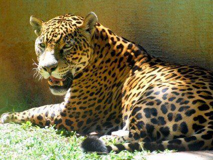У зоопарку США ягуар атакував любительку селфі (відео)
