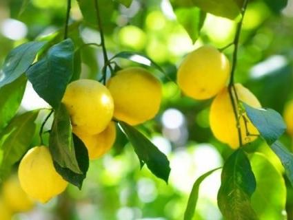 На Волині вирощують кілограмові лимони