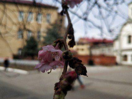 «Чарівна японка»: в Мукачеві зацвіла «скажена» сакура (фото)
