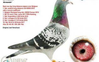 Мрія орнітолога: поштового голуба продали «з молотка» за €1,25 мільйона