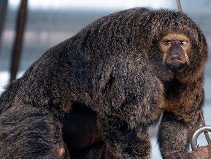 Обросла м'язами мавпа-«культурист» здивувала Мережу (фото)