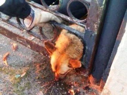«Думав, що стрункий»: на Дніпропетровщині із діри в паркані визволяли пса (відео)
