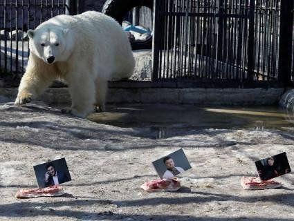 Російська полярна ведмедиця передбачила, хто виграє вибори в Україні (фото)