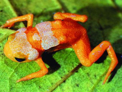 У джунглях Бразилії знайшли унікальний вид жаб-«лампочок» (відео)