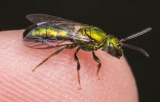 В людському оці знайшли чотири живих бджоли