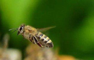 В оці жінки виявили чотири живих бджоли