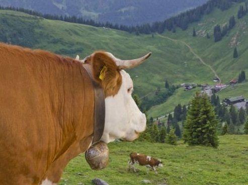 Суд дозволив німецьким коровам ходити із дзвіночками на шиї