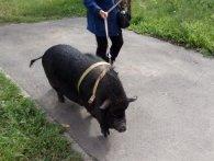 Домашня улюблениця: у квартирі киянки дев'ять років живе свиня (відео)