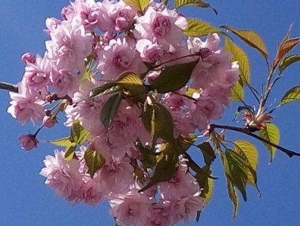 На Волині розцвіли сакури (фото)