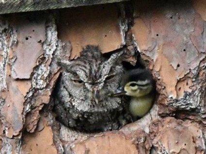 Переплутала яйця: сова виростила каченя як рідну малечу (фото)