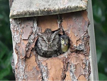 «Милота»: Мережу насмішили сова із каченям в одній шпаківні (фото)