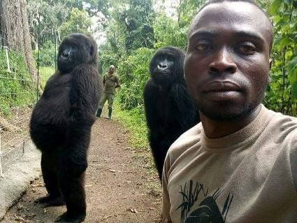 Селфі з горилами набрало більше 25 тисяч лайків і стало «селфі року»