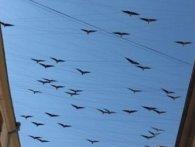 Над Івано-Франківськом «летять» 115 кованих птахів (відео)
