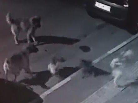 Відчайдушна кицька розігнала зграю агресивних псів (відео)