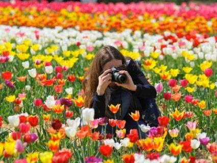 «Волинська Голландія-2019»: повідомили дату тюльпанного фестивалю