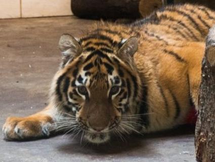 «Хороша дитинка»: тигреняті Тріші з Луцького зоопарку виповнилося два роки (фото)