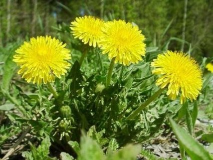 Найнебезпечніша рослина тижня: несподівана заява медиків