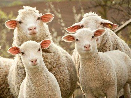 У Франції учнями школи стало стадо баранів