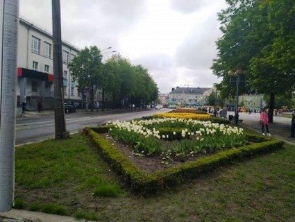У Рівному крадія тюльпанів змусили встромити квіти назад у клумбу (фото)