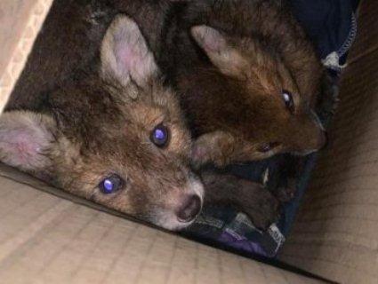 У Луцькому зоопарку новосели: лисенята мали стати «тренажером» для хортів